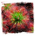 Drosera enodes {Big Form} / 4+ plants