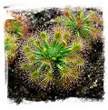 Drosera enodes {Small Form} / 4+ plants