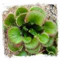 Drosera falconeri {white flw., Palmerston, NT, Australia} / 1+ rostlin