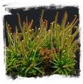 Drosera filiformis {Pine Barrens, New Jersey, USA} / 3+ plants