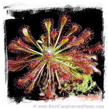 Drosera intermedia {near Batsto, Wharton SF, Burlington County, New Jersey, USA} (25s)