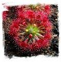Drosera leucoblasta {Brookton, W.A.} / 1+ plants
