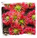 Drosera leucoblasta / 2 + plants
