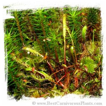 Drosera linearis {Giant, Petrel Point, Bruce Peninsula, Ontario, Canada} / 2+ plants