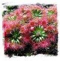 Drosera mannii / 2+ plants