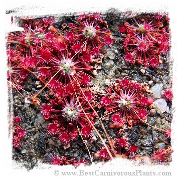 Drosera occidentalis subsp. australis {orange flower, Warriup, Western Australia} (20s)