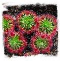 Drosera micrantha {Wannero, WA} / 4+ plants