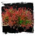 Drosera paradoxa {Lady Dreaming, Arnhemland, NT., Australia} / 2+ rostlin