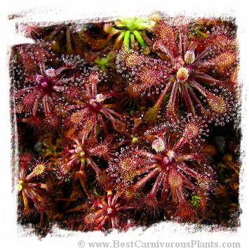 Drosera roraimae {Serra do Araca} / 2+ plants