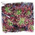 Drosera roraimae {mixed forms} / 1 plant, 2-4 cm