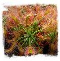 Drosera scorpioides / 2+ plants