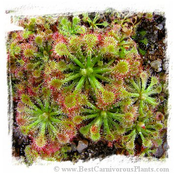 Drosera spathulata {Lake Ruapehu, New Zealand} (20s)