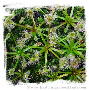 Drosera stenopetala {Tararua Ranges, New Zealand} / 2+ plants