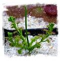 Drosera stolonifera ssp. stolonifera / 1 tuber