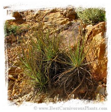 Drosophyllum lusitanicum {Cortes de la Frontera, Andalusia, Spain} (6 semen)