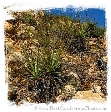 Drosophyllum lusitanicum {Alcala de los Gazules, Andalusia, Spain} (6 semen)