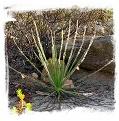 Drosophyllum lusitanicum {Cortes de la Frontera, Andalusia, Spain} (6 seeds)