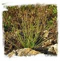 Drosophyllum lusitanicum {Ubrique, Andalusia, Spain} (6 seeds)