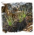 Drosophyllum lusitanicum {Puerto de Galis, Andalusia, Spain} (6 seeds)