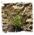 Drosophyllum lusitanicum {Alcala de los Gazules, Andalusia, Spain} (6 seeds)