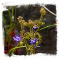 Genlisea glandulosissima {north of Kasama, Zambia}