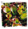 Heliamphora heterodoxa x ionasii / 2+ rostlin, 5-10 cm