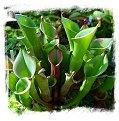 Heliamphora heterodoxa / 5+ rostlin, 3-5 cm
