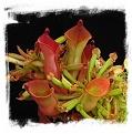 Heliamphora heterodoxa hybrids / 3+ rostlin, 3-5 cm