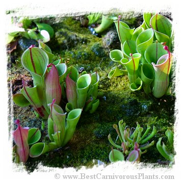 Heliamphora minor / 2+ plants, 3-8 cm