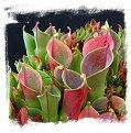 Heliamphora minor {mixed clones, Auyan Tepui, Venezuela} / 2+ plants, 4-8 cm