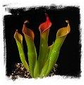 Heliamphora neblinae {Cerro Neblina, Brazil-Venezuela border} / 1+ rostlin, 5-8 cm