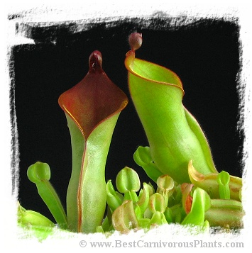 Heliamphora nutans {Roraima Tepui, Venezuela} / 3+ plants, 3-5 cm