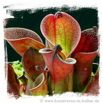 Heliamphora pulchella {Churi Tepui, Venezuela} / 2+ plants, 3-7 cm