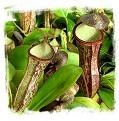 Nepenthes adnata x campanulata / 2-4 cm