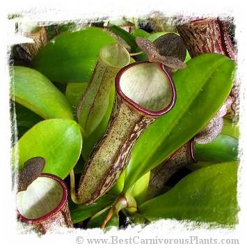 Nepenthes adnata x campanulata / 4-12 cm