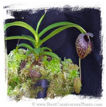 Nepenthes aristolochioides / 1+ plant,  size 3-5 cm