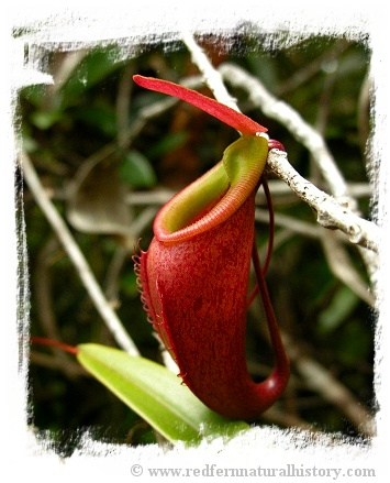 Nepenthes bellii {Mindanao, Philippines} / 3-6 cm
