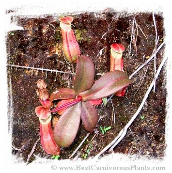 Nepenthes benstonei {Bukit Bakar, Kelantan, Malaysia} / 5-12 cm