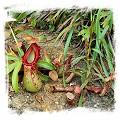 Nepenthes burkei {x alata?, Halcon, Philippines} / 3-10 cm