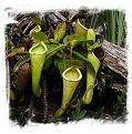 Nepenthes chaniana {Batu-Buli, Borneo, Malaysia} / 2-6 cm