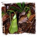 Nepenthes hirsuta {Gunung Serapi, Borneo, Malaysia} / 6-12 cm