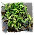 Nepenthes mirabilis {Phuket, Thailand} / 5-10 cm