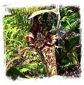 Nepenthes rafflesiana { x N. ampullaria?, Mersing, Johor, Malaysia} / 4-8 cm