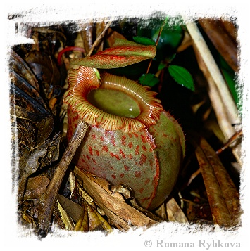 Nepenthes sibuyanensis {Guiting-Guiting, Philippines, 1400 m} / 4-8 cm