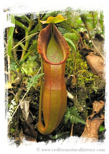 Nepenthes spathulata / 5-10 cm