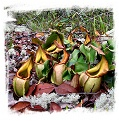 Nepenthes veitchii {lowland form, Bario} / 3-8 cm