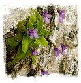 Pinguicula dertosensis {Hoz de Beteta, Spain} / 1+ plants
