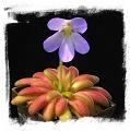 Pinguicula agnata x Pinguicula gypsicola (= P. x Agnicola) / 2+ rostlin