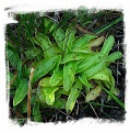 Pinguicula bohemica / 1+ plants