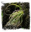 Pinguicula calderoniae {Llano del Conecho, San Luis Potosi, Mexico} / 2+ plants